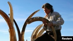 Petugas di AS menyita gading gajah berukir. sebelum menghancurkan 6 ton gading di Denver, Colorado, November 2013. (Reuters/Rick Wilking)
