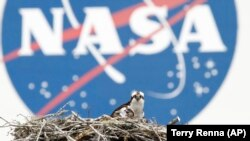 Osprey betina dan salah satu dari tiga anaknya terlihat dengan latar belakang logo NASA di Kennedy Space Center di Cape Canaveral, Fla. Selandia Baru mengumumkan Selasa, 1 Juni 2021, sebagai negara terbaru yang menandatangani perjanjian luar angkasa denga
