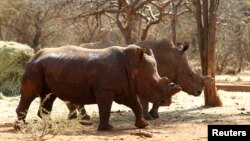 Rhinos with cut horns walk at a farm in Musina, Limpopo Province, South Africa May 9, 2012. The horns are removed in game parks to make the animal a less likely target for poachers.