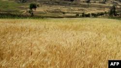 Україна продовжила дію зернових експортних квот