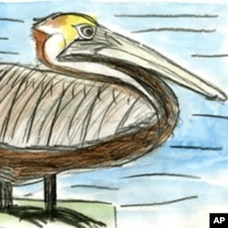 Olivia Bouler's drawing of a brown pelican