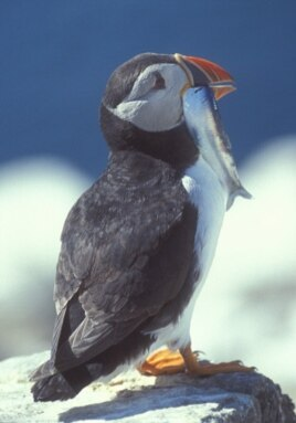 The breeding success of the Atlantic puffin is impacted by warming seas.