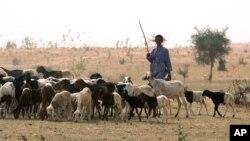 خشکسالی نه تنها حاصلات گندم را در افغانستان کاهش داده است بلکه چراگاه های سبز مواشی را نیز از بین برده است