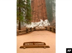 This photo provided by the Southern Area Blue Incident Management Team, Sept. 16, 2021, shows the giant sequoia known as the General Sherman with its base wrapped in a fire-resistant blanket to protect it from approaching wildfires at Sequoia National Forest.