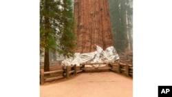 This photo from the Southern Area Blue Incident Management Team, Sept. 16, 2021, shows the General Sherman giant sequoia wrapped in a fire-resistant blanket to protect it from wildfires at Sequoia National Forest in California.
