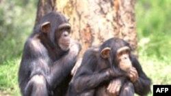 Şempanzeler Ölüm Karşısında İnsan Gibi Tepki Veriyor