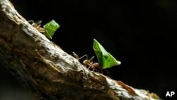 Otro fascinante misterio es cómo se organizan las hormigas para elegir a su reina.