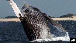گوشت نهنگ در ژاپن بسیار پرطرفدار است