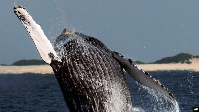 FILE - A humpback whale jumps at a whale watching point, off Okinawa, southwestern Japan.