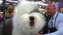 """En busca del """"Mejor Perro"""" en Westminster, N. York"""