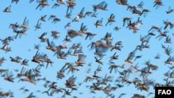 Betroka Region, Southern Madagascar - A dense swarm of locusts as seen during spraying operations, May 29, 2011. ©FAO/Yasuyoshi Chiba