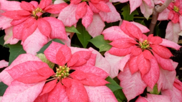 Poinsettias are named for the first American ambassador to Mexico, Joel Poinset, and do not come only in red