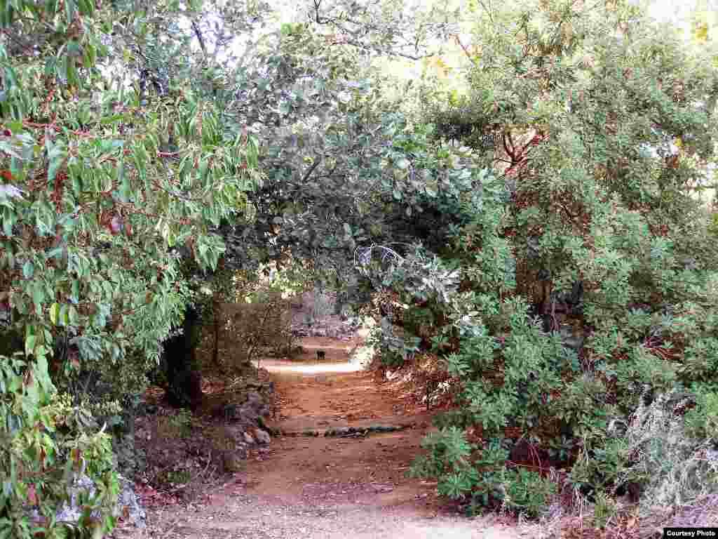 Ugrožena vrsta Rumex rothschildianus raste na obalnim dinama u najnapučenijem području Izraela. (Tel Aviv University Botanical Garden)
