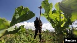 Seorang petani di tanah pertanian KOndo di Eldoret, 400 kilometer ke arah barat Nairobi, Kenya. (Foto: Dok)