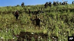 Soldiers and civilians use sticks to cut the opium poppies in a jungle field in Shan State, northeast of Burma