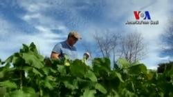Amerika'da Çiftçilik Moda Oluyor