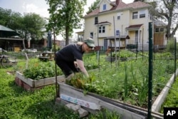 In this 2014 photo, this urban gardener picks herbs from her garden patch at a community garden in Omaha, Nebraska.
