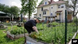 In this 2014 photo, urban gardener Jo Bartikoski picks dill from her garden patch at the Dundee community garden in Omaha, Nebraska. Some are looking to expand so-called urban farms to produce more healthy food for city residents. (AP Photo/Nati Harnik)