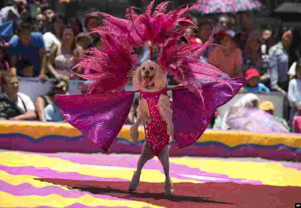 Seekor anjing sirkus menunjukkan kemahirannya dalam acara unjuk rasa untuk memprotes larangan kota Mexico City terhadap penggunaan binatang dalam sirkus.