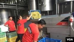 Pekerja Sababay Winery memasukkan anggur ke mesin pemeras anggur. (Foto: VOA/Puspita).