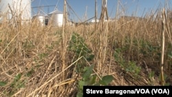 Trey Hill uses conservation methods on his Maryland farm. Here are soy beans growing in the what is left of another crop. (Credit: Steve Baragona/VOA)