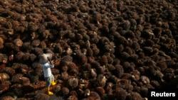 Seorang pekerja mengumpulkan kelapa sawit di dalam pabrik minyak kelapa sawit di Sepang, pinggiran Kuala Lumpur, Malaysia. (Foto: Dok)