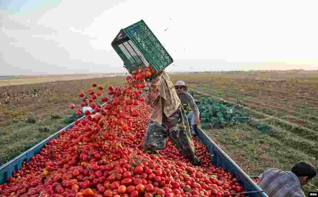 برداشت گوجه فرنگی در نیشابور
