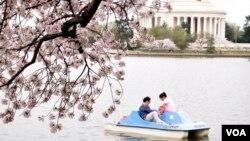 Hoa anh đào nở rộ ở Thủ đô Washington
