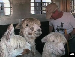 Breeder Jim Barker had never heard of alpacas when his wife first learned about them 15 years ago.