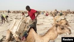 Blocs de sel taillés en briques en train d'être chargés sur le dos dun dromadaire, dépression du Danakil, Ethiopie, le 22 avril 2013.