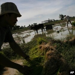Rice farmers in Cambodia tend to their crops. Some 12% of the country's paddy fields are believed to have been destroyed due to the flooding in Southeast Asia.
