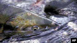 A salmon's travels to spawn are cut short because of two dams blocking its way along the Elwha River.