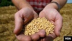 Seorang petani menunjukkan biji-biji kedelai (ilustrasi). Uni Eropa belum menyetujui penanaman kedelai yang sudah diubah secara genetik karena masih perlu penelitian lebih lanjut soal dampaknya bagi manusia dan lingkungan.