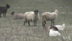 北约基地为防导弹而设 却遭羊群威胁