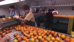 亚洲细菌威胁佛州橘树