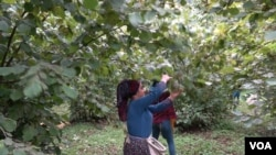 Hazelnut pickers who mostly come from Turkey's predominately Kurdish region work seven days a week, 11 hours a day for the month season. (D. Jones/VOA)