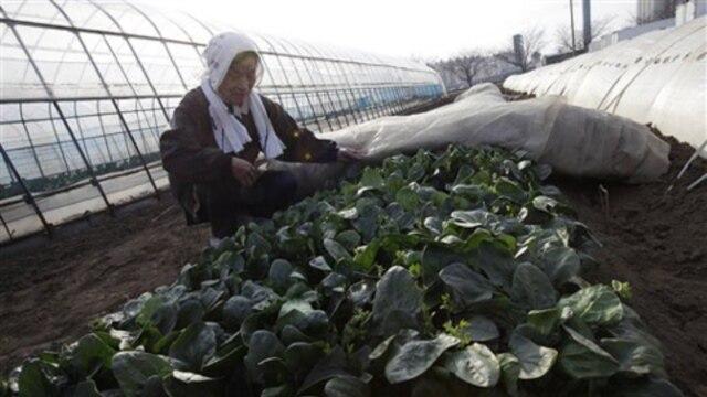 Chiyoko Kaizuka weeds her spinach field in Moriya, Ibaraki prefecture, Japan
