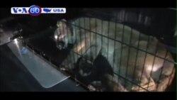 Một con sư tử núi đi lạc vào một bãi đỗ xe ở California