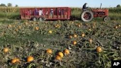 """Menurut Huffer, pemilik """"Jumbo Pumpkin Patch"""", orang-orang yang mengunjungi ladangnya juga senang naik gerobak jerami yang membawanya ke ladang labu (foto: Dok).."""