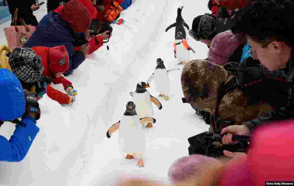 Penguins walk on snow during the Harbin International Ice and Snow Sculpture Festival, near the Harbin Polarland aquarium in Heilongjiang province, China.