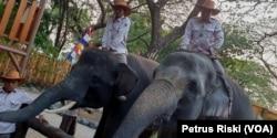Gonzales dan Manis, dua dari enam gajah Sumatera koleksi Kebun Binatang Surabaya (Foto:VOA/Petrus Riski).