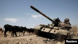 Gado passa junto a tanque danificado na luta entre governo etíope e forças Tigray perto da cidade de Humera, Etiópia