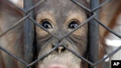 A young orangutan, smuggled from Indonesia, looks out from its cage at a wildlife breeding center in Ratchaburi province, southwestern Thailand (File Photo)