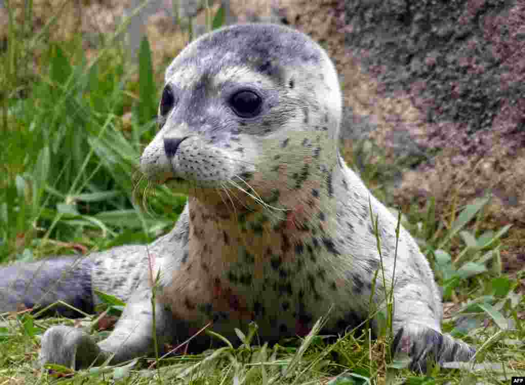A handout picture released by the Boudewijn Seapark Animal Park shows newborn baby seal Conchita at the Boudewijn Seapark in Brugges. The baby seal, which was born on the eve of the 2014 Eurovision Song Contest, is named after Austria's bearded transvestite and winner of the contest Conchita Wurst.