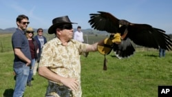 In this photo taken Thursday, March 29, 2018, a Harris hawk lands on the arm of Nick Kontis during a falconry vineyard experience at Bouchaine Vineyards in Napa, Calif. (AP Photo/Eric Risberg)