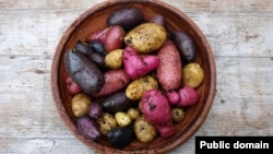 A fingerling potato is a small, narrow potato typically ranging in length from five to 13 centimeters.