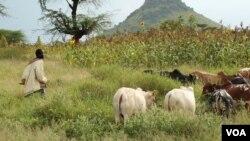 Karimojong boys traditionally herd cattle, but with livestock dwindling, children go to cities to work or beg, Aug. 27, 2012 (Hilary Heuler/VOA).