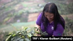 菲律賓棉蘭老島居民種植咖啡。