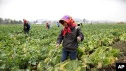 지난해 10월 북한 평양 인근 칠골남새전문농장에서 종업원들이 배추밭에 비료를 뿌리고 있다. (자료사진)
