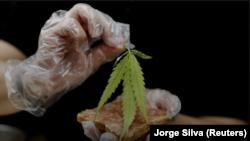 Les autorités marocaines visent la légalisation du cannabis